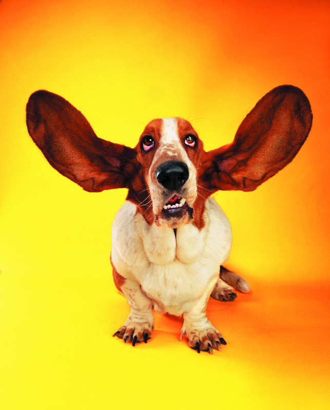 good study habits actively listen/ dog with big ears